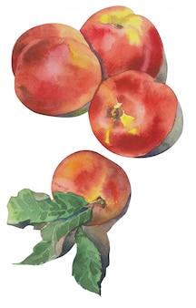 Nectarines aquarelles dessinées à la main. illustration de pêche aux fruits.