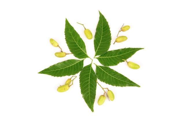Neem ou azadirachta indica feuilles vertes et fruits isolés sur fond blanc.