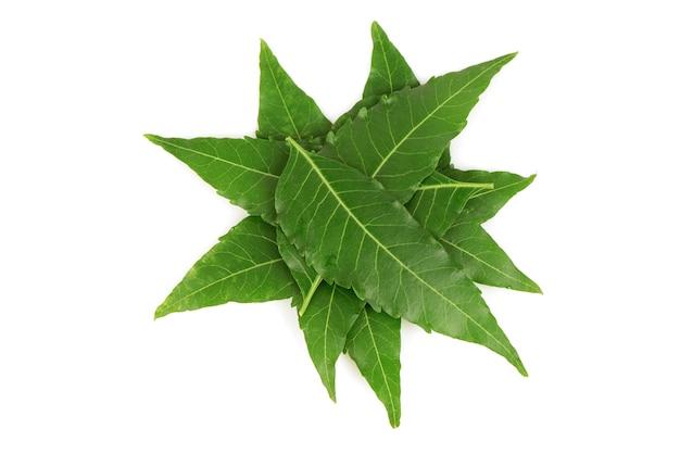 Neem ou azadirachta indica feuilles vertes isolées sur fond blanc.