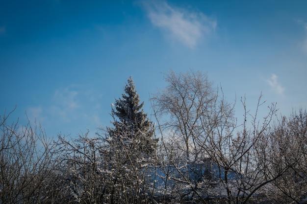 Neige blanche fraîche sur les branches d'arbres à feuilles persistantes, fond d'hiver naturel.