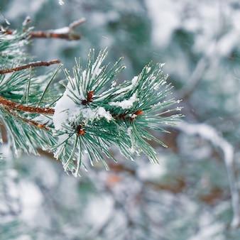 Neige sur les feuilles de pin en hiver