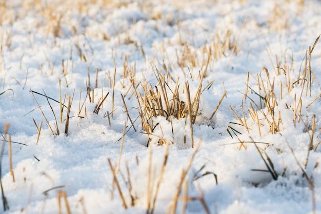 La neige fraîche repose sur l'herbe sèche