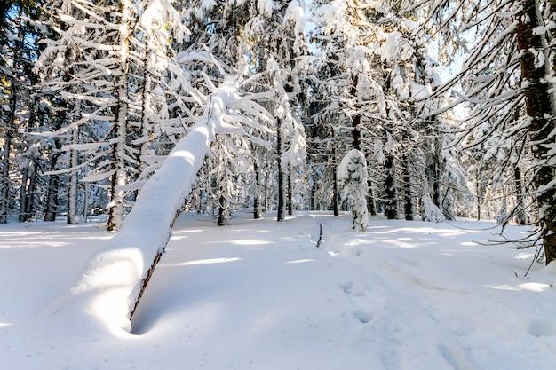 Neige recouvert de pins dans les carpates en journée ensoleillée d'hiver.