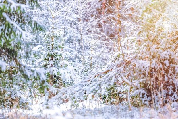Neige recouvert de sapins dans la forêt d'hiver avec la lumière du soleil.