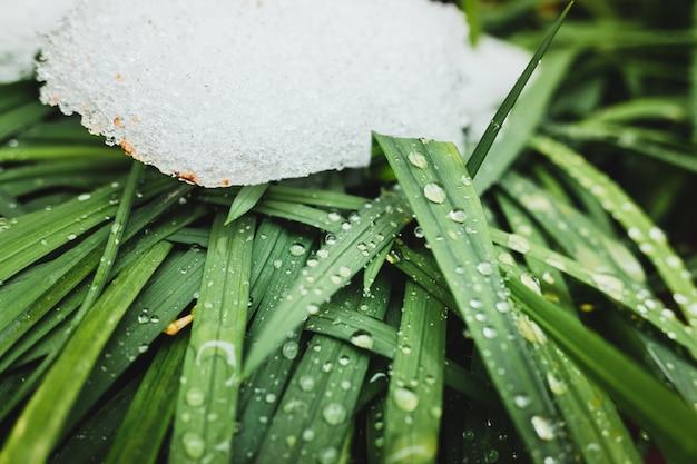 La neige recouvre les feuilles vertes des plantes en hiver, naturel rafraîchissant