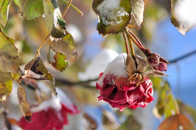 Neige sur les roses