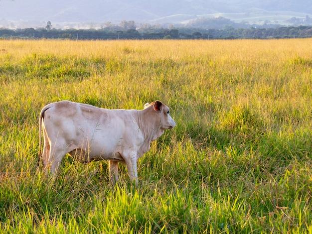 Nelore veau dans le pâturage au coucher du soleil