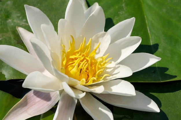 Nénuphar blanc - lotus fleurissant sur un petit étang un jour d'été ensoleillé