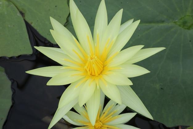 Nénuphar dans un étang en haïlande