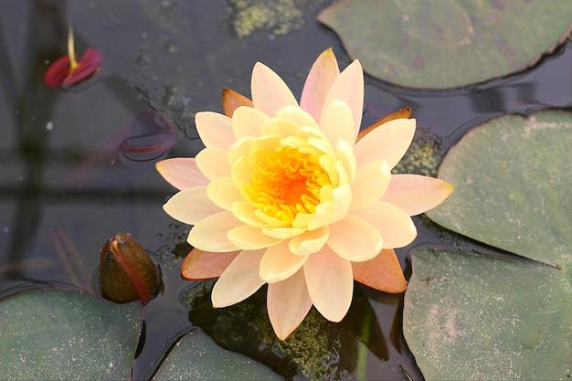 Le nénuphar dans l'étang avec mise au point sélective sur le pollen