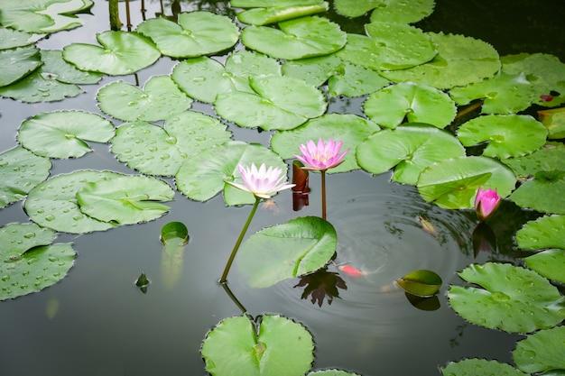 Nénuphar ou fleur de lotus et feuille verte croissance étang d'eau dans le jardin