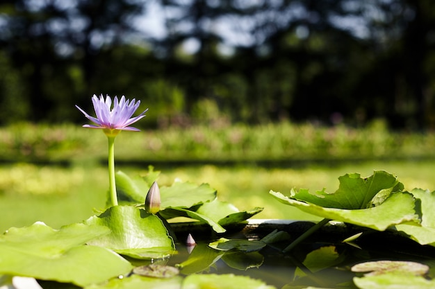 Nénuphar magenta ou lotus en fleurs dans l'étang avec un fond de nature.