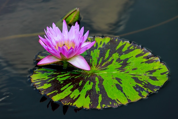 Nénuphar rose avec belle feuille sur l'eau