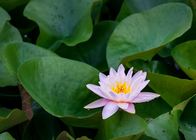 Nénuphar rose en fleurs dans les rayons du soleil couchant dans le lac de la ville