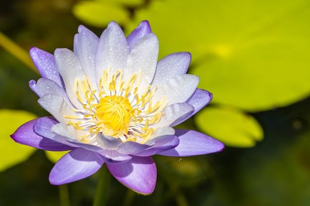 Nénuphar violet ou fleur de lotus