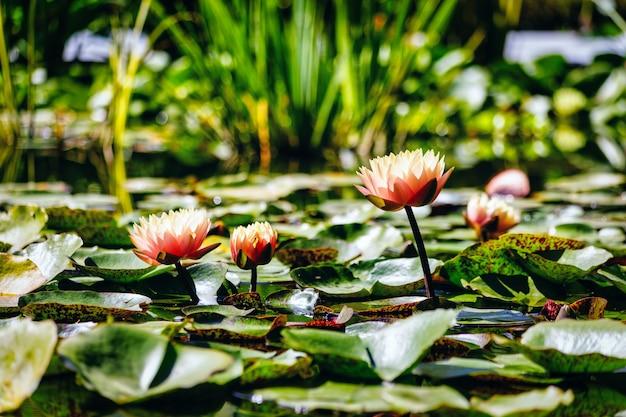 Nénuphars dans l'eau calme dans un jardin botanique