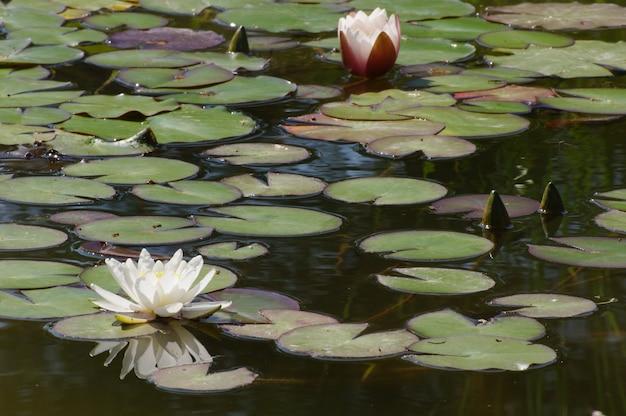 Nénuphars en fleurs dans un étang pour un moment de détente