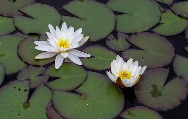 Nénuphars en fleurs à la surface d'un lac.