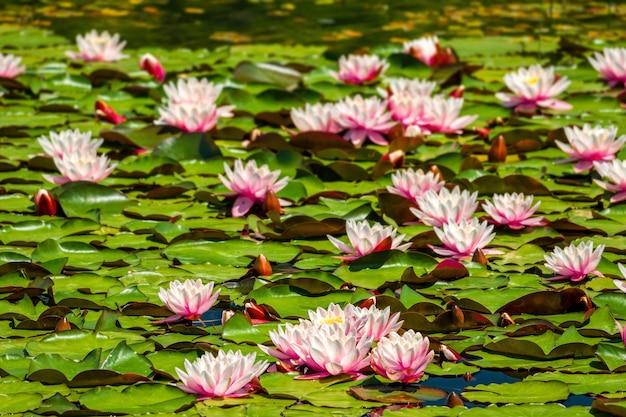Les nénuphars nymphaea couvrent la surface d'un étang d'eau douce