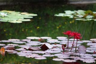 Nénuphars, les plantes, l'eau