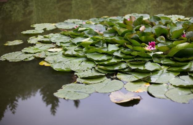 Les nénuphars poussent sur un étang nénuphar blanc dans l'eau