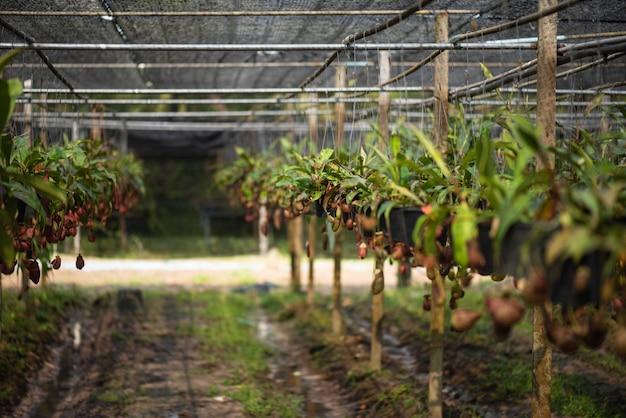 Nepenthes a également appelé les plantes tropicales de pichet ou les tasses de singe dans la ferme.