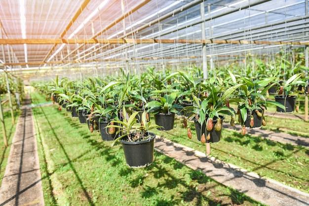 Nepenthes en pot suspendu à la maison verte. nepenthes pépinière de plus en plus pour décorer dans le jardin