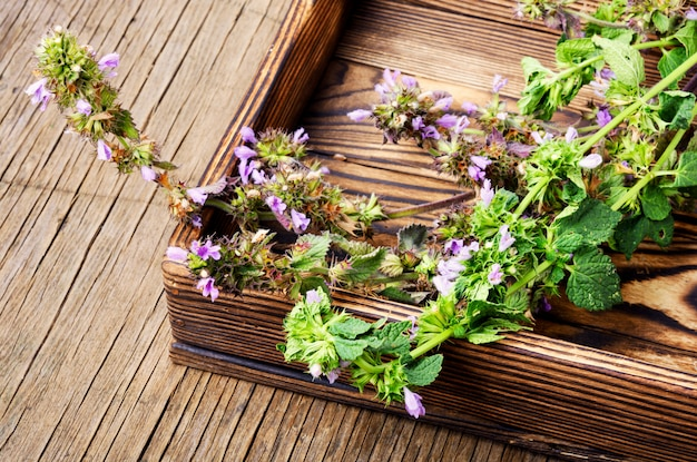 Nepeta, herbes médicinales et herboristerie