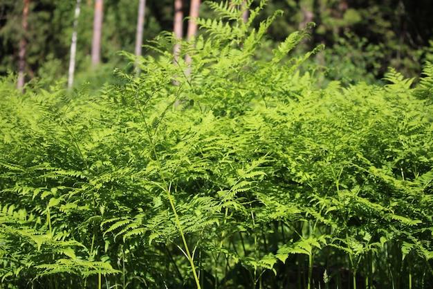 Nephrolepis exaltata, la fougère épée, est une espèce de fougère de la famille des lomariopsis. feuilles de fougère verte dans la forêt