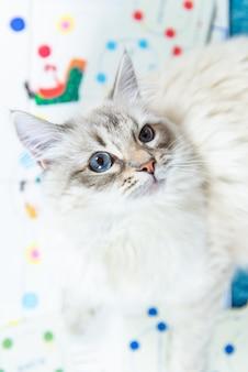 Neva masquerade cat, variété du chat sibérien