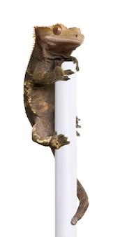 New caledonian crested gecko, rhacodactylus ciliatus, poteau d'escalade
