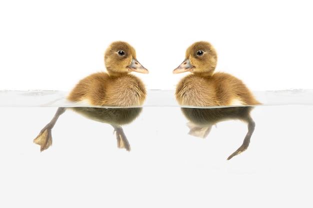 Niché de natation de canard sur fond blanc