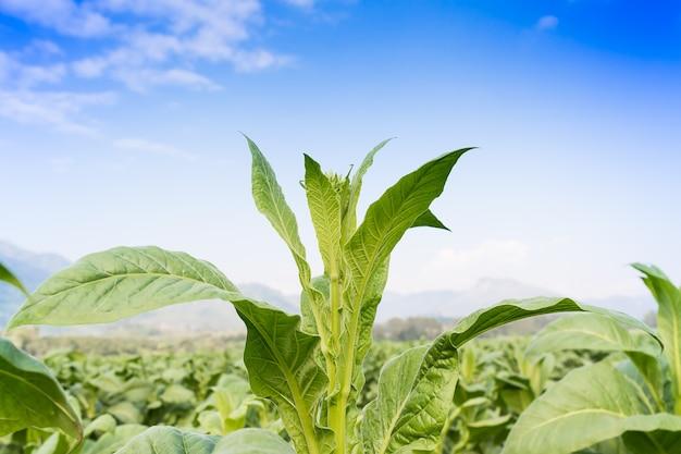 Nicotiana tabacum plante herbacée