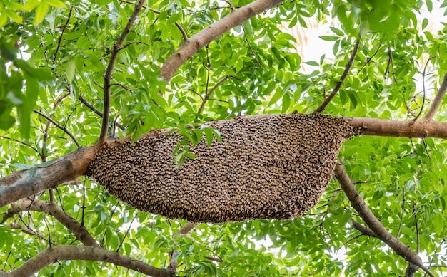 Nid d'abeille accroché sur une branche d'acajou dans la nature.