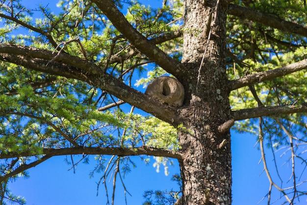 Nid d'hornero sur les branches de pin vert