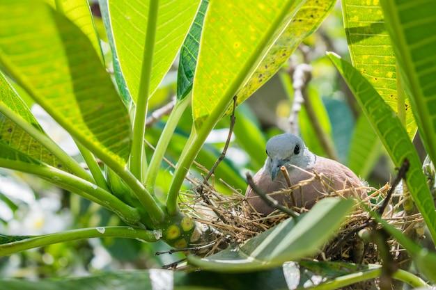 Nid d'un oiseau dans la nature. une colombe couve ses œufs.