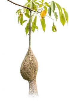 Nid d'oiseau d'herbe sèche brune de tisserand oiseau sur l'arbre isolé on white
