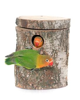 Nid d'oiseau et inséparable