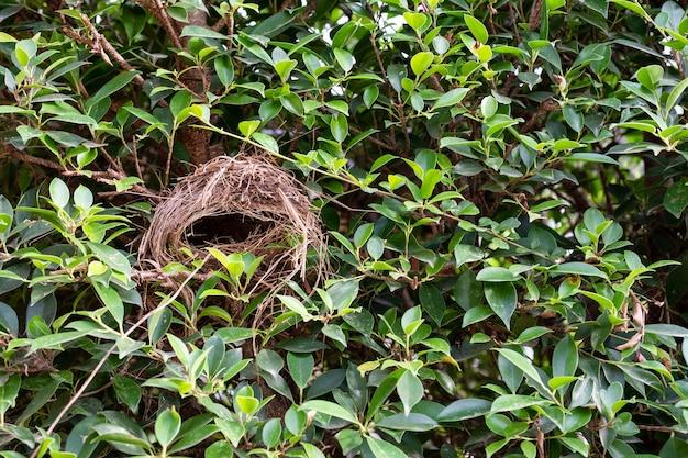 Nid d'oiseau vide sur le banian