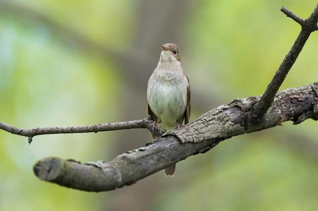 Nightingale sur une branche