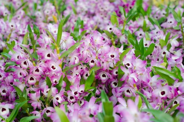 Nobile orchidée