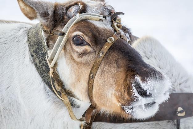 Noble cerf dans le camp sibérien en hiver.