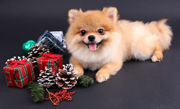 Noël et poméranie et décoration avec fond noir.