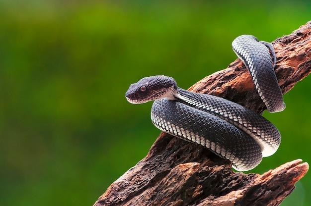 Noir mangrove, fosse, viper, serpent, purpureomaculatus, sur, a, arbre