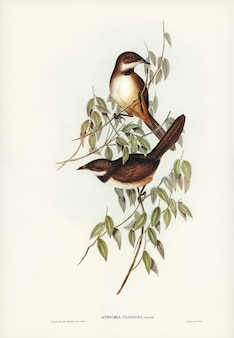 Noisy brush-bird (atrichia clamosa) illustré par elizabeth gould