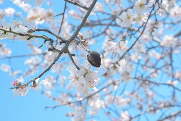 Noix d'amande et branches d'amandier en fleurs