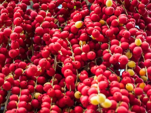 Noix de bétel mûres ou noix de palmier d'arec sur arbre