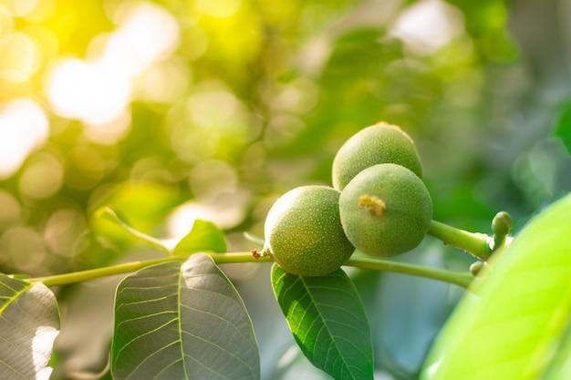 Noix sur les branches d'un arbre au soleil