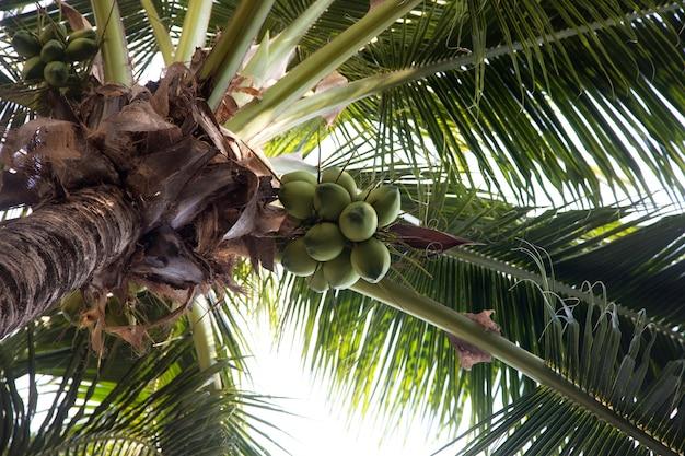 Noix de coco accrochent sur une vue de dessous de palmier