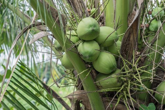 Noix de coco sur un cocotier